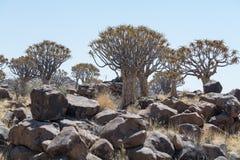 Koekerboom (aloés Dictoma) em Namíbia Foto de Stock Royalty Free