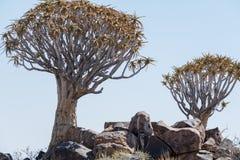 Koekerboom (aloés Dictoma) em Namíbia Fotos de Stock Royalty Free