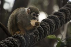 Koekje die aap eten stock fotografie