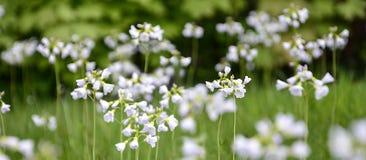 Koekoek-bloem Stock Foto