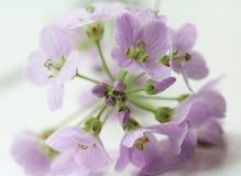 Koekoek-bloem Royalty-vrije Stock Afbeeldingen