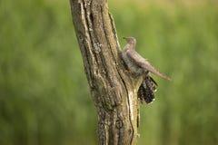 Koekoek, Cuculus-canorus royalty-vrije stock afbeelding