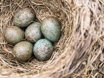 Koekoeksei in het nest onder andere eieren Stock Afbeeldingen