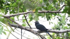 Koel asiático del pájaro, scolopaceus de Eudynamys en un árbol almacen de video