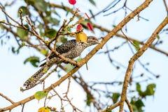 Koel asiático en un árbol de los ficus Imagen de archivo libre de regalías