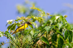 Koel asiático que empoleira-se em uma árvore fotografia de stock