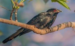Koel asiatique, mâle, était perché sur un branchement d'arbre, la lumière de matin, e rouge Photo libre de droits