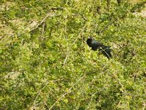 Koel cuckoos bird sitting on a distant tree branch pecking fruits in beak. Nature wildlife habitat Royalty Free Stock Photography