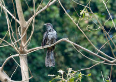 Koel_female_perched_branch_green_background asiatique Images stock