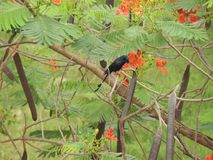 Koel. Also called as Eudynamys orientalis, cuckoo, nightingale, eastern , rainbird or stormbird Stock Photo