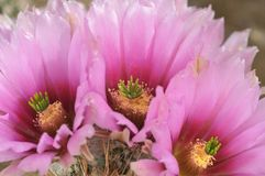 Koel Roze met Magenta gekleurde Cactusbloem en Bloemknoppen royalty-vrije stock afbeelding