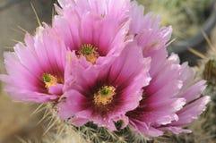 Koel Roze met Magenta gekleurde Cactusbloem en Bloemknoppen stock fotografie