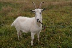 Koele geit in modern dorp Royalty-vrije Stock Foto's
