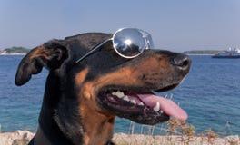 Koele hond met zonnebril Stock Foto