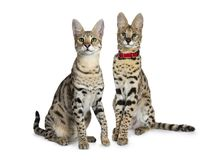 Koele jonge volwassen Savannef1 kat en serval die katje, op witte achtergrond wordt geïsoleerd stock foto