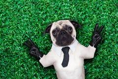 Koele pug hond Stock Foto's