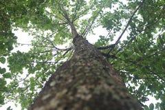 Koele schaduwrijke boom Naucleaorientalis stock afbeeldingen