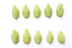 Koelreuteria paniculataï ¼ Œtree ziarna strąki Zdjęcie Stock