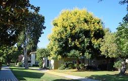 Koelreuteria paniculata或Goldenrain树 库存照片