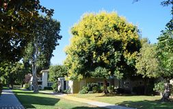 Koelreuteria paniculata or Goldenrain tree. stock photo