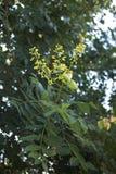 Koelreuteria paniculata koloru żółtego kwiaty obrazy royalty free