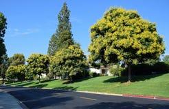 Koelreuteria-paniculata oder Goldenrain-Baum Stockbilder