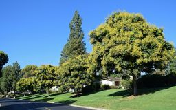 Koelreuteria-paniculata oder Goldenrain-Baum Lizenzfreie Stockbilder