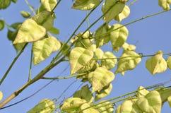 Koelreuteria paniculata tree seed pods Stock Photo