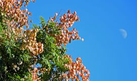 Koelreuteriapaniculata of Goldenrain-boom stock foto's