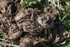 Koemest droog op gras Stock Foto