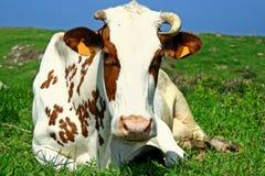 koen halvliter mjölk Royaltyfria Bilder