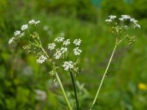 Koepeterselie of Wilde Kervel, Anthriscus-sylvestris, de macro, selectieve nadruk van bloemclusters, ondiepe DOF stock foto
