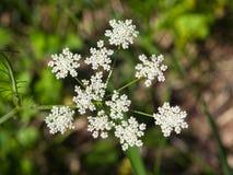 Koepeterselie of Wilde Kervel, Anthriscus-sylvestris, de macro, selectieve nadruk van bloemclusters, ondiepe DOF stock foto's
