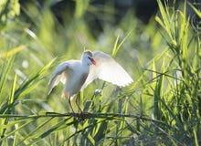 Koereiger, airone guardabuoi, bubulcus ibis fotografie stock