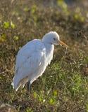 Koereiger, Egret скотин, Bubulcus ibis стоковое изображение