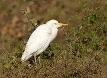 Koereiger, Egret скотин, Bubulcus ibis стоковые изображения