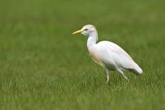 Koereiger; Egret скотин; Bubulcus ibis; стоковые изображения rf