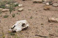 Koeschedel in woestijn Stock Fotografie