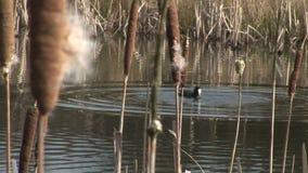 Koet die voor vegitation duiken stock footage