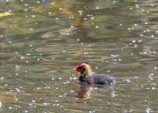 Koet het hatchling zwemt lui langs de oppervlakte van een meer dat stock foto