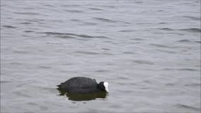 Koet swimms stock video