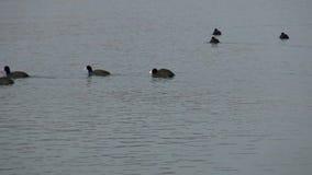 Koeten op het meer Balaton van Hongarije stock video