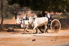 Koevervoer in Bagan Myanmar Stock Afbeeldingen