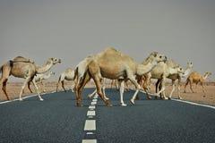 Koeweit: Kameel kruising Stock Foto