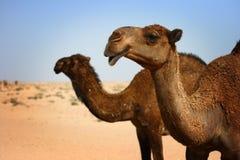 Koeweit: Kamelen in woestijn stock afbeeldingen