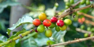 Koffie-boom. Guatemala Stock Afbeeldingen