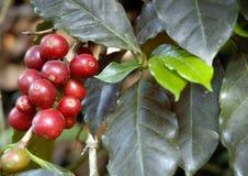 Koffie-boom Guatemala Stock Afbeelding