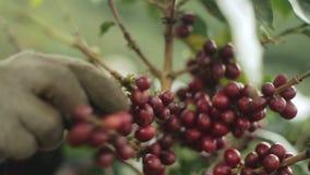 Koffie het oogsten stock videobeelden