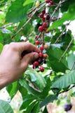 Koffie in Oeganda stock afbeeldingen
