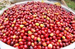 Koffie in Oeganda royalty-vrije stock foto's
